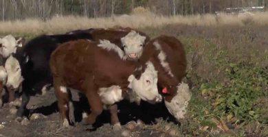 cultivo de remolacha forrajera para ganado