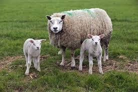 texel oveja