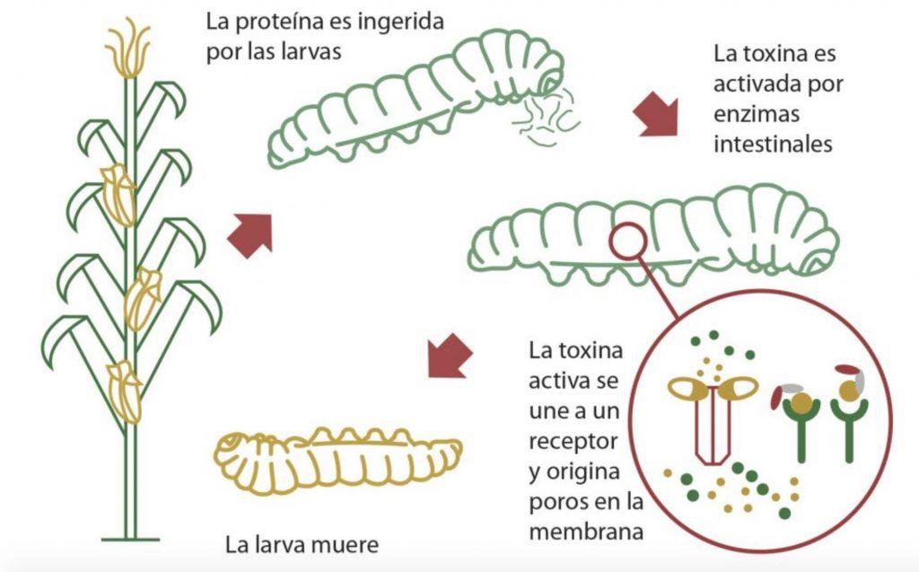 cultivos geneticamente modificados Bt