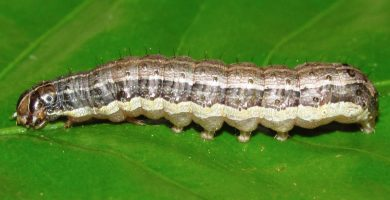 gusano cogollero del maiz oruga cogollera spodoptera frugiperda