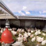 pollos pastoriles chicken tractor el mate adelia maria