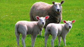 produccion ovinos argentina, rentabilidad ovinos, ganaderia ovina argentina