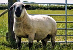 raza de ovejas Hampshire Down cara negra ovino