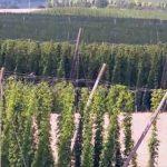 upulo png cultivo de lupuloen argentina lupulo planta lupulo planta cerveza flor de lupulo