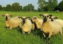 Hampshire (oveja)