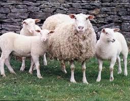 ovejas lecheras