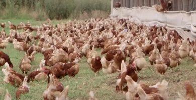 gallinas felices libre pastoreo huevo pastoril