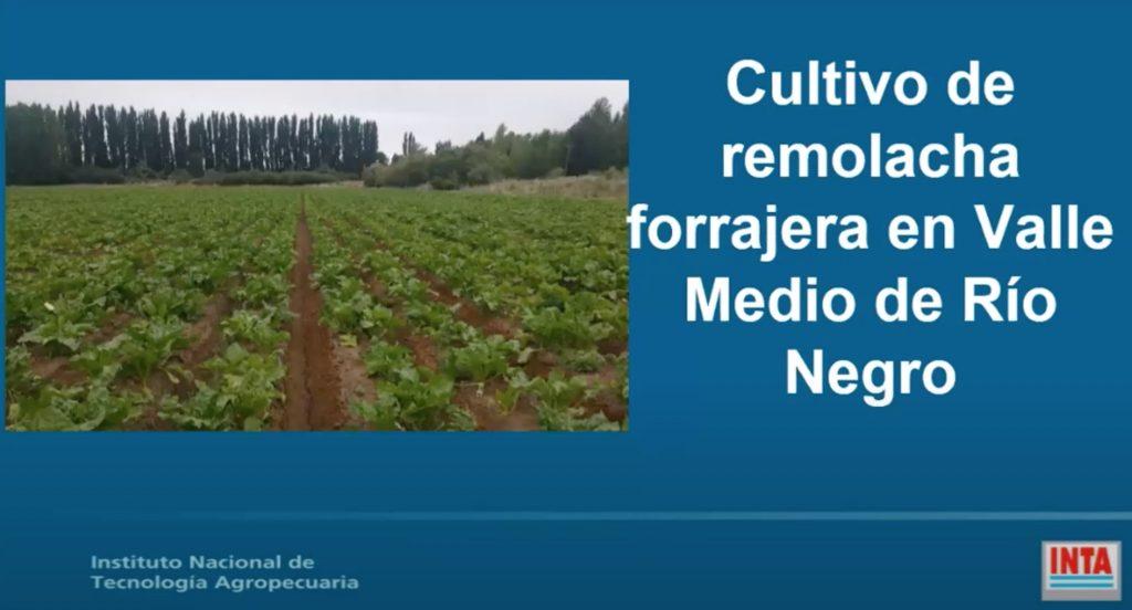 remolacha forrajera ganaderia nutricion bovinos