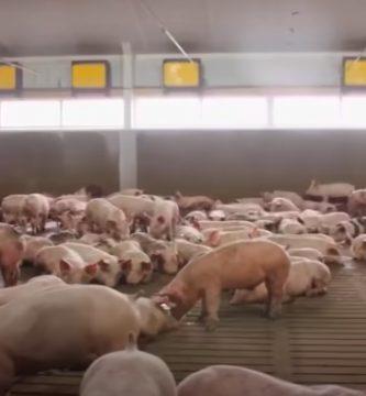 precio del cerdo porcinar septiembre 2021